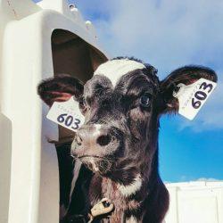 cow-instagram