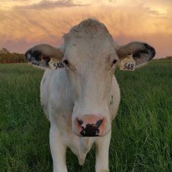 cow-instagram2